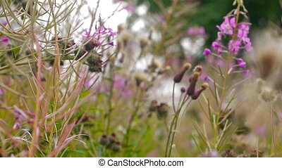 Fireweed flowers close-up hi-def video - Fireweed...