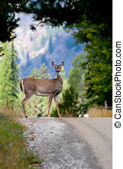 Deer by a dirt road. - A deer stands by the side of a dirt...