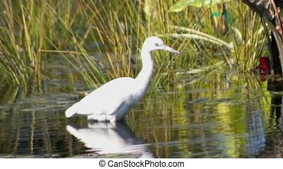 Great white heron walking in reeds