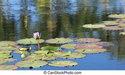 slow motion pan across lily pads - A slow motion pan across...