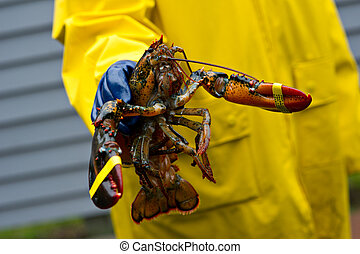 Fisherman and his freshly caught Maine lobster - A freshly...