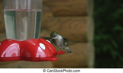 Hummingbird vs Wasp - Hummingbird versus wasp at the feeder...