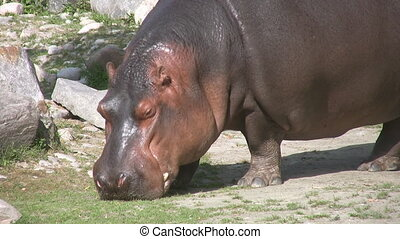 Hungry hippo grazes. - A hippo walks and grazes for food.