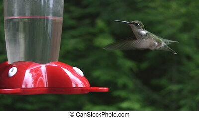 Hummingbird - A humming bird at the feeder