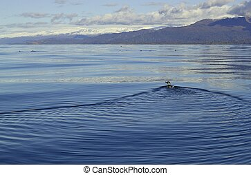 Common murre swimming away - Common murre shorebird swimming...