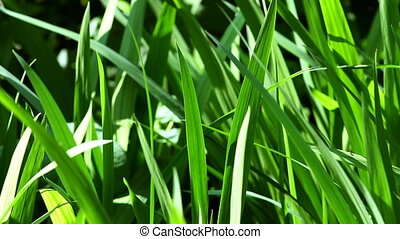 green grass in the garden close-u