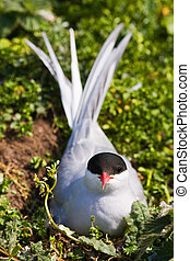 Arctic Tern sitting on her nest protecting her egg from...