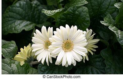 Herbera daisy in a garden
