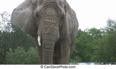 Elephant walks towards camera - An elephant slowly walks...