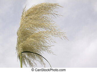 pampas grass blowing in the wind against a blue grey sky