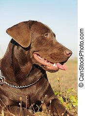 brown labrador retriever - purebred female labrador...