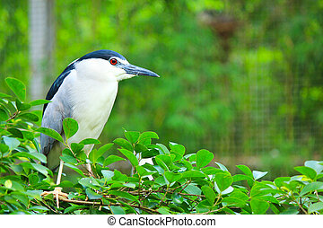 Black-crowned Night Heron in zoo - Black-crowned Night Heron...