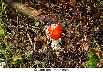 fly agaric - Young toadstool known as Fly Agaric amanita...