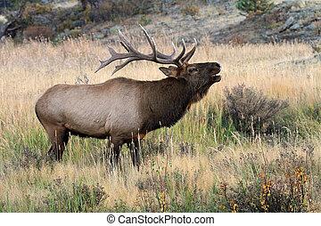 Bull elk during rut season - Healthy male elk during the...