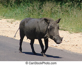 Large female warthog standing Native habitant of african...