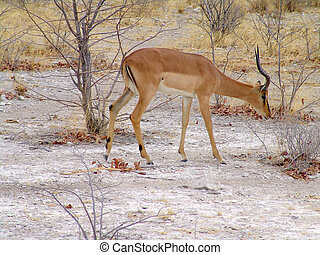 Black headed impala Native habitant of african continent