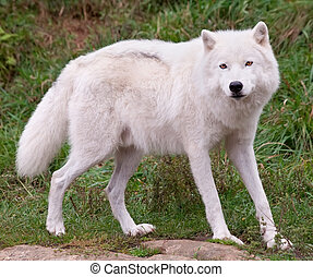 Arctic Wolf Looking at the Camera - Arctic Wolf posing and...