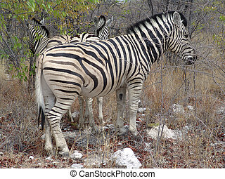 African zebra - Zebra Burchells Native habitant of African...