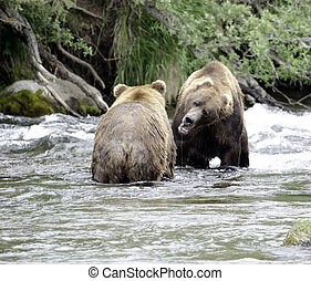 Two large Alaskan brown bears fighting in the water - Two...