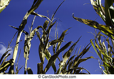 Cornfield in the Midwest - Corn stalks in a field in...