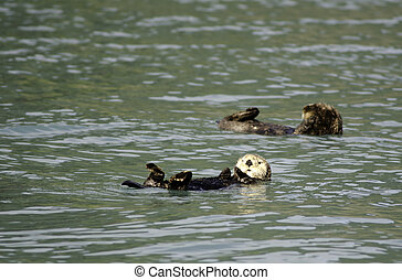 Sea otter in Resurrection Bay - Sea otter swimming in...