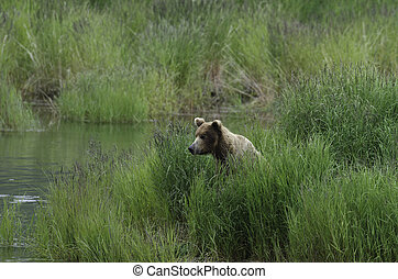 Grizzly bear in high grass - Large Alaskan brown bear in...