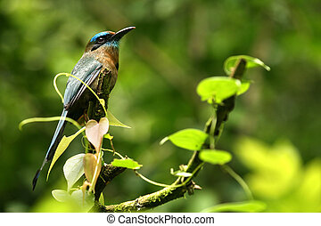 a, 熱帶, 鳥, 雨, 森林, Costa, Rica:, 這,...