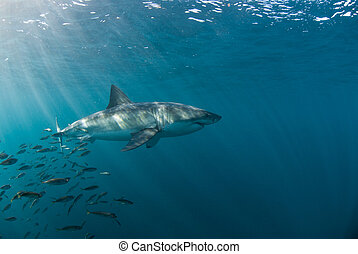 Shark escape - Great white shark being tailed by a school of...