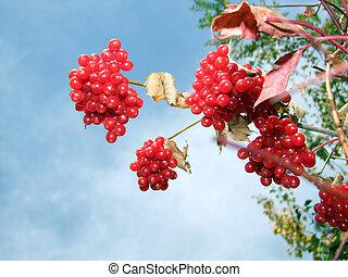 Arrowwood - red bush viburnum