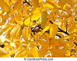 walnut tree in autumn