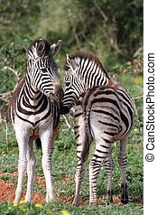 Zebra Foals - Two cute young zebra foals standing together