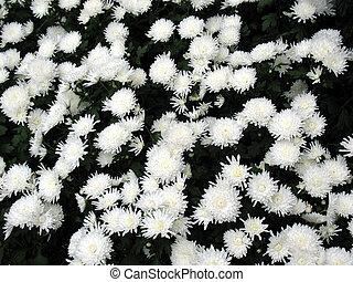 Chrysanthemums in a garden