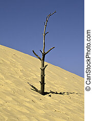 The olde tree on sand dunes
