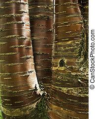 Tibetan cherry tree bark - Prunus Serrula Tibetica