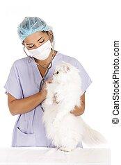 veterinary and angora cat - female veterinary taking care of...