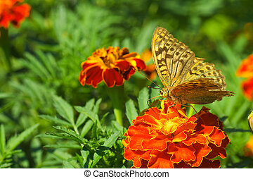Shabby argynnis paphia butterfly on the marigold flower