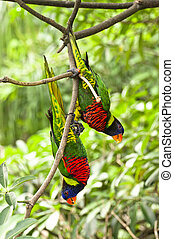 Rainbow Lory - Parrot- a pair of Rainbow Lory holding on a...