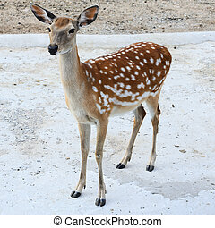 beautiful doe in the Moscow Zoo, Russia