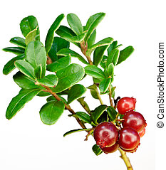Late cowberry. Branch of red cowberries isolated on white...