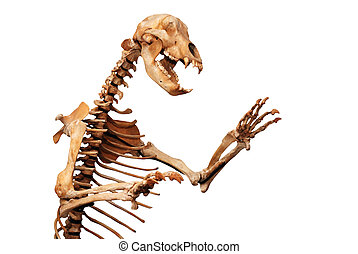 skeleton of ursus spelaeus over white background