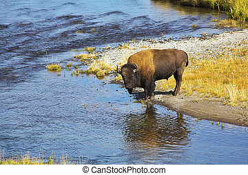 Bison on a watering place in well-known Yellowstone national...