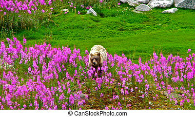 Northern Grizzly in Fireweed