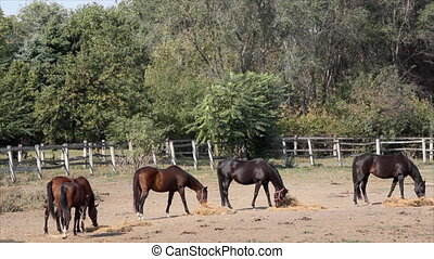 horses eat hay in corral