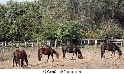 horses eat hay in corral