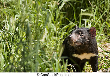Tasmanian Devil - Rare mammal native to australia
