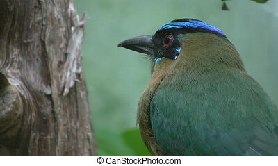 Blue crowned mot mot Closeup - A beautiful blue crowned mot...