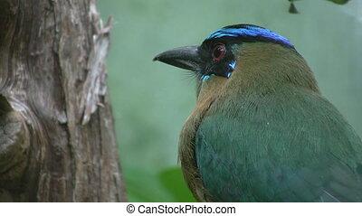 Blue crowned mot mot. Closeup.