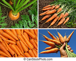 organic carrots collage - collage of organic carrots in the...