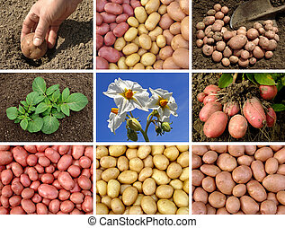 potatoes collection