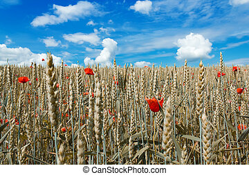 golden wheat with red poppy in the blue sky background